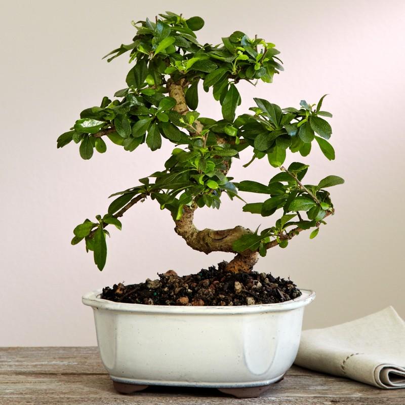 bonsai uprawa w domu