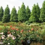 Jak sadzić iglaki w ogrodzie?