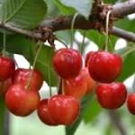 Ekologiczna uprawa czereśni