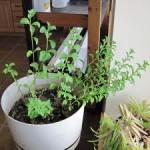 Własna uprawa stewii w warunkach domowych